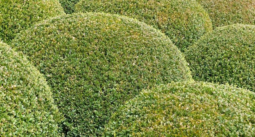 Auch in Minden ist derzeit ein vermehrter Befall von Buchsbäumen durch den Buchsbaumzünsler zu beobachten. Die im ausgewachsenen Zustand bis fünf Zentimeter langen Raupen des Schmetterlings (Zünsler) leben im Kroneninneren der Buchsbäume und bilden dort charakteristische Gespinste aus.