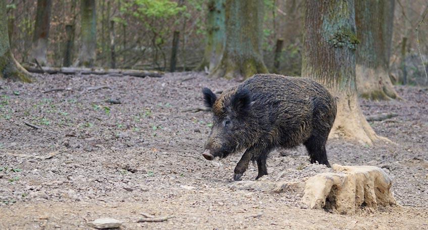 20201121 hallo minden schweinepest